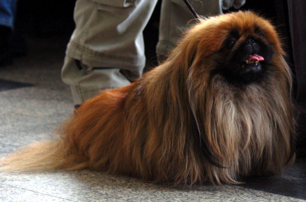 rustige-hondenrassen-pekiness