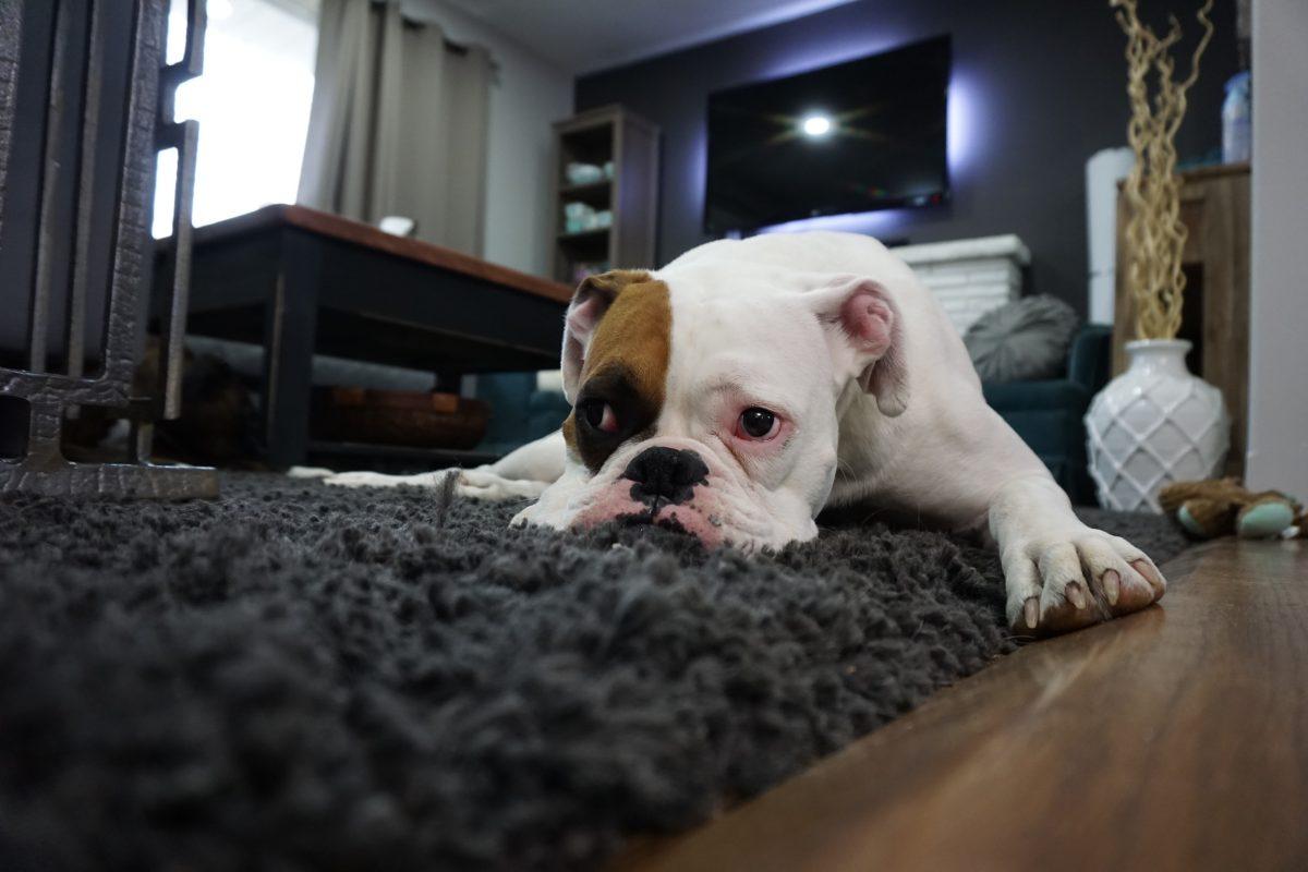 Een kleine rustige hond 5 rassen