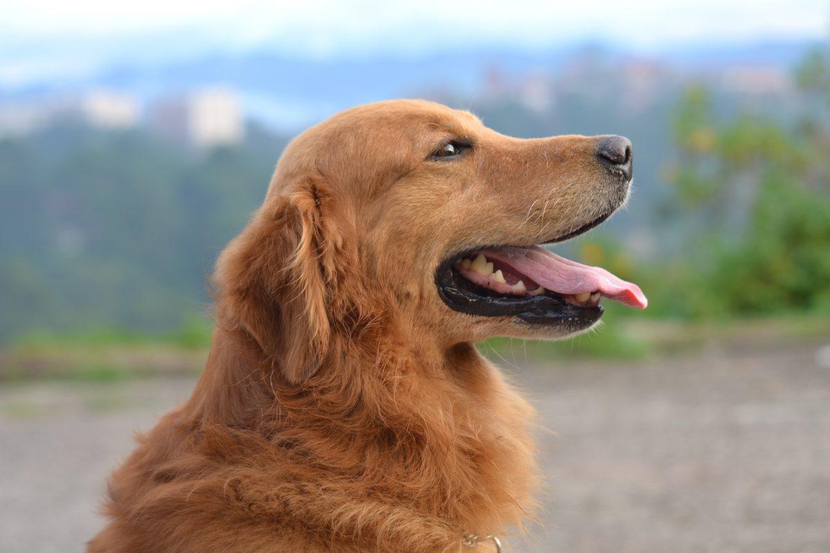 Een rustige hond die weinig blaft